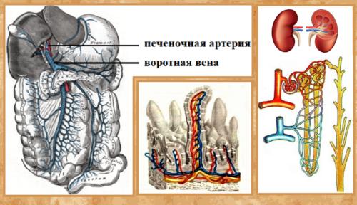 Сосуды, впадающие в печень, капилляры ворсинок тонкого кишечника, кровообращение в почках